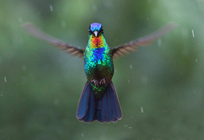 FIERY-THROATED HUMMINGBIRD - Panterpe insignis - Cerro de la Muerte, May 2018, San José, Costa Rica