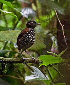 BLACK-CROWNED ANTPITTA - Pittasoma michleri - Braulio Carrillo, June 2018, Heredia Province, Costa Rica