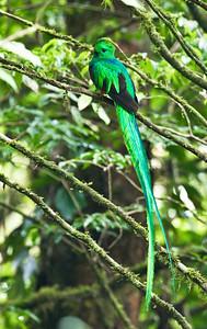 RESPLENDENT QUETZAL - Pharomachrus mocinno - Reserva Monteverde, May 2018, Costa Rica