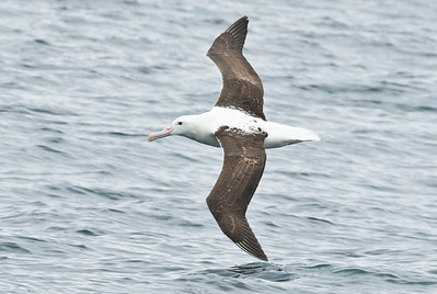 NORTHERN ROYAL ALBATROSS - Diomedea sanfordi - Pelagic off Valparaíso, Dec 2017, Valparaíso, Chile