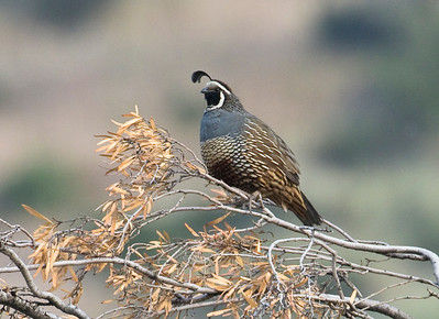 CALIFORNIA QUAIL - Callipepla californica - Farellones, Dec 2017, Santiago Metropolitan Region, Chile