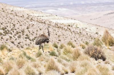 PUNA RHEA - Rhea tarapacensis - Salar de Surire, Nov 2017, Parinacota, Chile