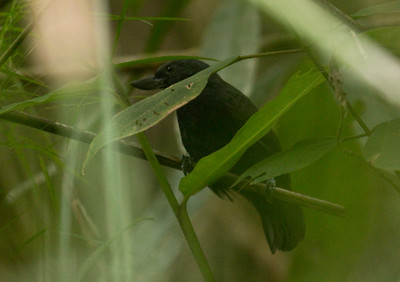 RECURVE-BILLED BUSHBIRD - Clytoctantes alixii - Ocaña, December 2015, Norte de Santander, Colombia