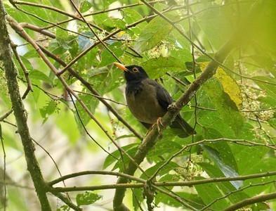 BLACK-HOODED THRUSH - Turdus olivater - El Dorado Reserve, December 2015, Santa Marta, Magdalena, Colombia