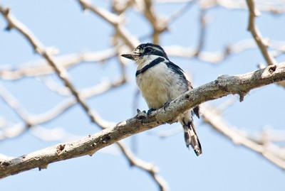 PIED PUFFBIRD - Notharchus tectus - Parque Isla de Salamanca, December 2015, Magdalena, Colombia
