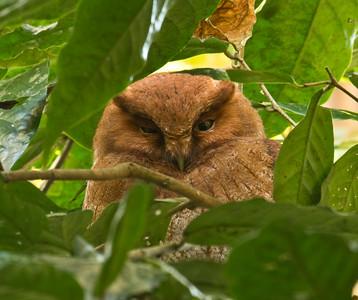 SANTA MARTA SCREECH-OWL - Megascops sp.nov. - El Dorado Reserve, December 2015, Santa Marta, Magdalena, Colombia