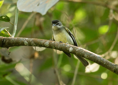 VENEZUELAN TYRANNULET - Zimmerius improbus tamae - El Dorado Reserve, December 2015, Santa Marta, Magdalena, Colombia