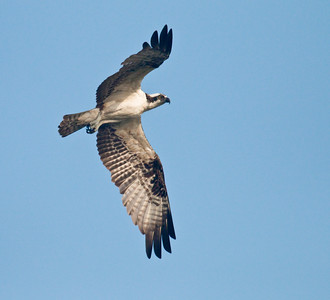 OSPREY - Pandion haliaetus - Cartagena, Dec 2015, Bolivar, Colombia