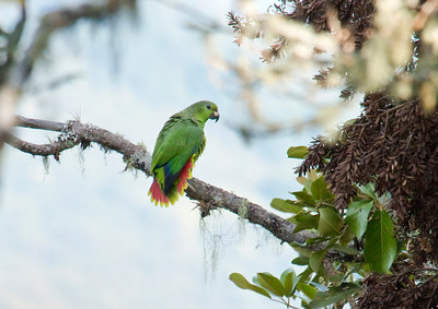 SCALY-NAPED AMAZON - Amazona mercenarius - Cuchilla San Lorenzo, December 2015, Santa Marta, Magdalena, Colombia