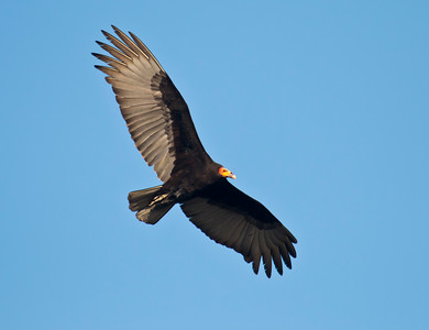 LESSER YELLOW-HEADED VULTURE - Cathartes burrovianus - Los Flamencos Sanctuary, December 2015, Riohacha, La Guajira, Colombia