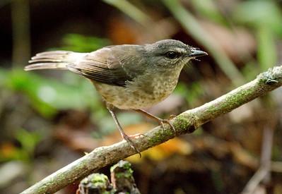 BUFF-RUMPED WARBLER - Myiothlypis fulvicauda - May 2017, Costa Rica