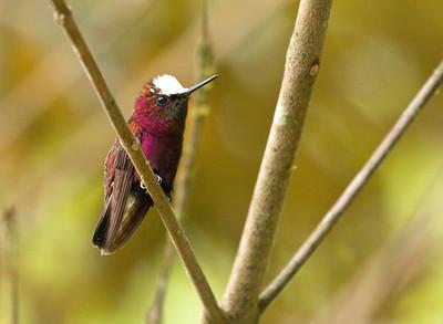 SNOWCAP - Microchera albocoronata - Braulio Carrillo NP,  May 2017, Costa Rica
