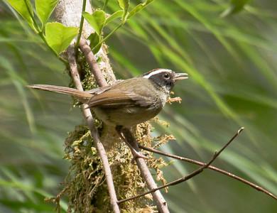 BLACK-CHEEKED WARBLER - Basileuterus melanogenys - Savegre, May 2017, Cordillera de Talamanca, Costa Rica