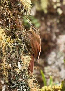 SPOT-CROWNED WOODCREEPER - Lepidocolaptes affinis - Savegre, May 2017, Cordillera de Talamanca, Costa Rica