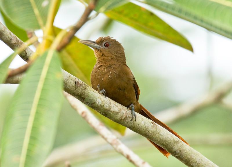 CINNAMON-THROATED WOODCREEPER - Dendrexetastes rufigula -<br /> Parque Perla, Lago Agrio, 12 Dec 2014, Sucumbíos, Ecuador