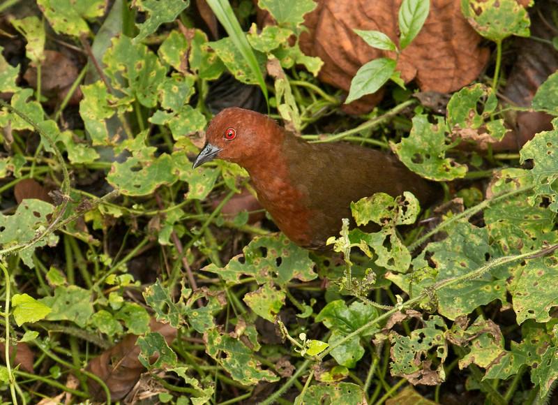 BLACK-BANDED CRAKE - Laterallus fasciatus -<br /> Tena, December 2015, Napo, Ecuador