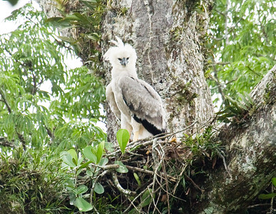 HARPY EAGLE - Harpia harpyja - Gareno, Oct 2017, Napo, Ecuador