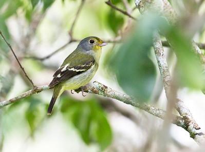 WING-BARRED PIPRITES - Piprites chloris - Sani, April 2018, Sucumbios, Ecuador