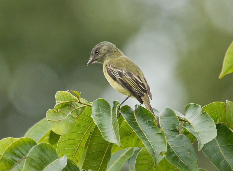RED-BILLED TYRANNULET - Zimmerius cinereicapilla -<br /> Tena, December 2015, Napo, Ecuador