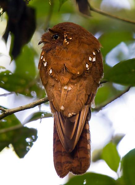 RUFOUS POTOO - Nyctibius bracteatus -<br /> Gareno, Oct 2011, Napo, Ecuador