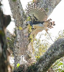 HARPY EAGLE - Harpia harpyja - Gareno, Aug 2017, Napo, Ecuador