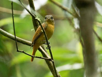CINNAMON NEOPIPO - Neopipo cinnamomea -  Gareno, Oct 2017, Napo, Ecuador
