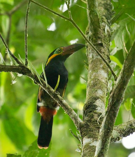GOLDEN-COLLARED TOUCANET - Selenidera reinwardtii - male -<br /> Napo Wildlife Center, 18 July 2014, Orellana, Ecuador