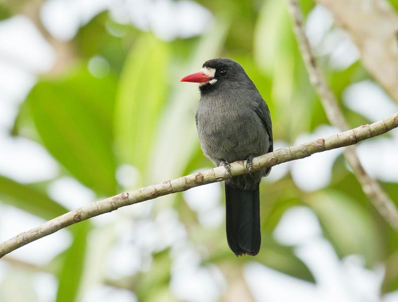 WHITE-FRONTED NUNBIRD - Monasa morphoeus -<br /> Parque Perla, Lago Agrio, 12 Dec 2014, Sucumbíos, Ecuador