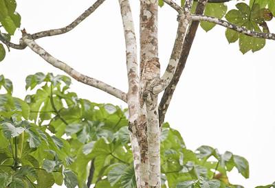 GREAT POTOO - Nyctibius grandis - Sani, November 2018, Sucumbios, Ecuador