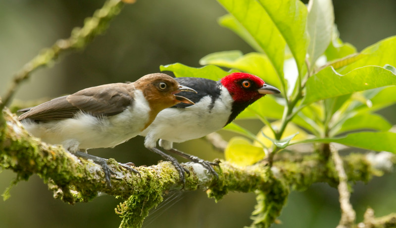 RED-CAPPED CARDINAL - Paroaria gularis -<br /> Napo Wildlife Center, 21 July 2014, Orellana, Ecuador