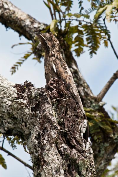 COMMON POTOO - Nyctibius griseus -<br /> Cuyabeno, December 2015, Sucumbíos, Ecuador