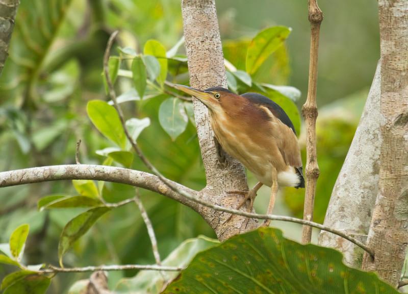LEAST BITTERN - Ixobrychus exilis - <br /> Napo Wildlife Center, 21 July 2014, Orellana, Ecuador