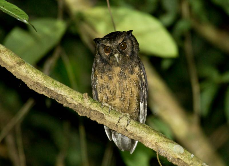 TAWNY-BELLIED SCREECH-OWL - Megascops watsonii -<br /> Napo Wildlife Center, 19 July 2014, Orellana, Ecuador