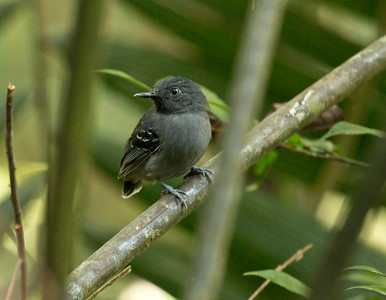 BLACK-CHINNED ANTBIRD - Hypocnemoides melanopogon - Cuyabeno, December 2015, Sucumbíos, Ecuador