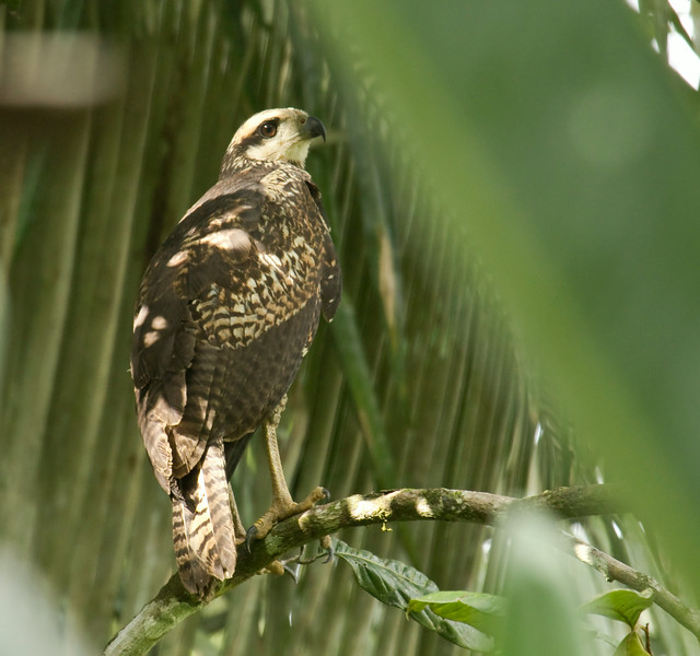 GREAT BLACK HAWK - Buteogallus urubitinga -<br /> Napo Wildlife Center, 17 July 2014, Orellana, Ecuador