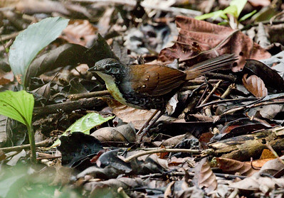 RUSTY-BELTED TAPACULO - Liosceles thoracicus - Sani, April 2018, Sucumbios, Ecuador