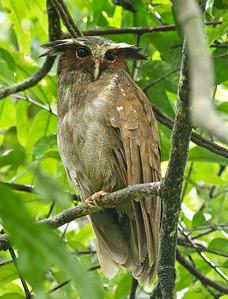 CRESTED OWL - Lophostrix cristata - Sani, November 2018, Sucumbios, Ecuador