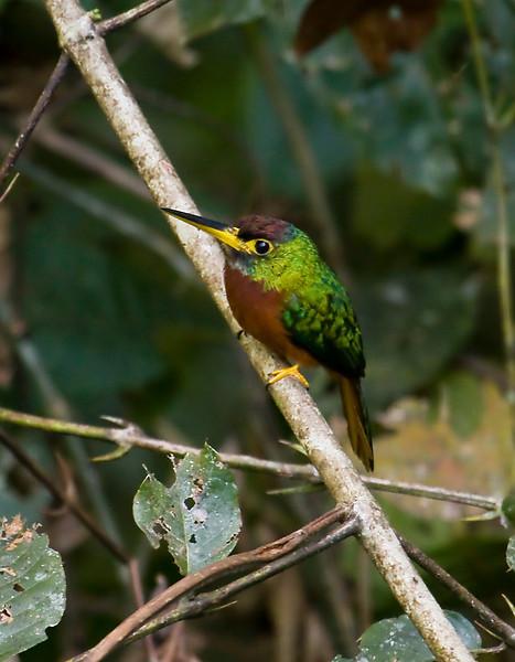 YELLOW-BILLED JACAMAR - Galbula albirostris -<br /> Gareno, Oct 2011, Napo, Ecuador