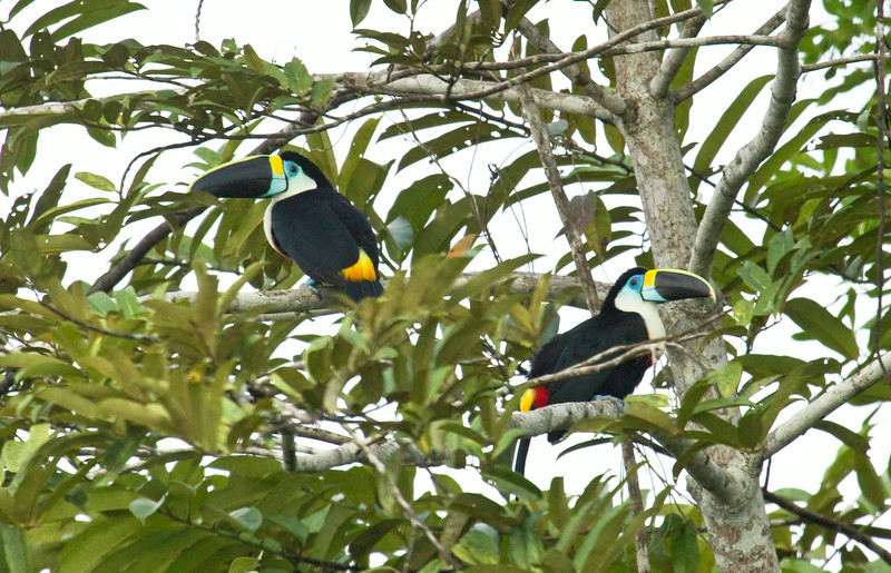 CHANNEL-BILLED TOUCAN - Ramphastos vitellinus -<br /> Napo Wildlife Center, 18 July 2014, Orellana, Ecuador