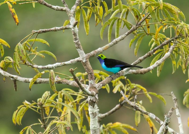 PARADISE TANAGER - Tangara chilensis -<br /> Napo Wildlife Center, 21 July 2014, Orellana, Ecuador