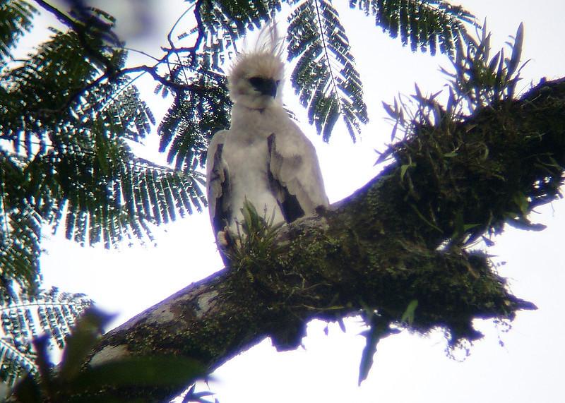 HARPY EAGLE - Harpia harpyja - juvenile -<br /> Gareno, Dec 2006, Napo, Ecuador<br /> Dušan M. Brinkhuizen ©