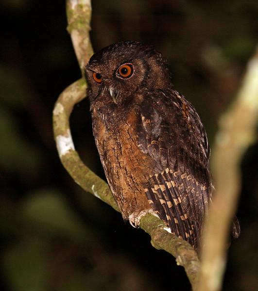 TAWNY-BELLIED SCREECH-OWL - Megascops watsonii<br /> Gareno, Oct 2011, Napo, Ecuador