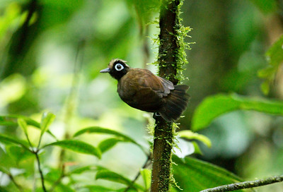 HAIRY-CRESTED ANTBIRD - Rhegmatorhina melanosticta - Gareno, Oct 2017, Napo, Ecuador