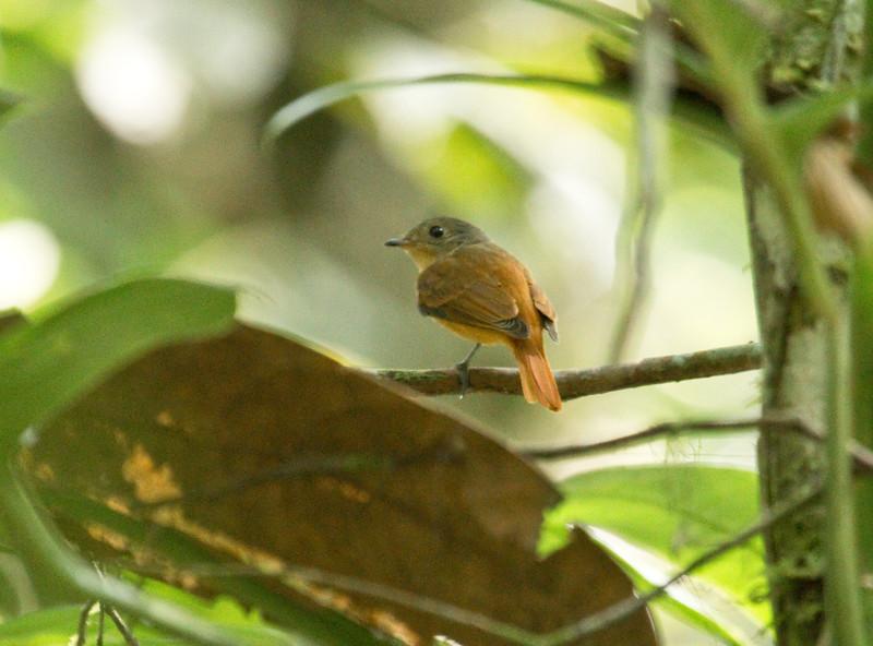 CINNAMON NEOPIPO - Neopipo cinnamomea - Tipishca, 10 Dec 2014, Sucumbíos, Ecuador