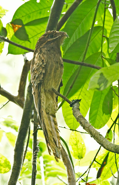 LONG-TAILED POTOO - Nyctibius aethereus -<br /> Napo Wildlife Center, 20 July 2014, Orellana, Ecuador
