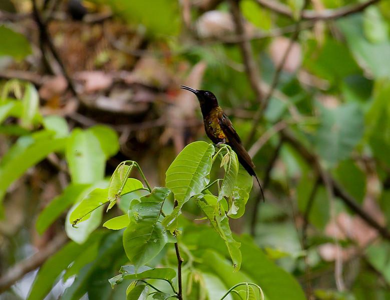 FIERY TOPAZ - Topaza pyra - male -<br /> Gareno, Oct 2011, Napo, Ecuador