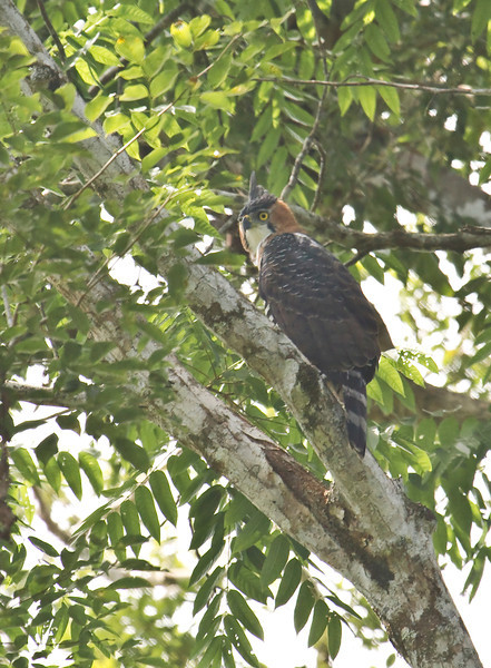ORNATE HAWK-EAGLE - Spizaetus ornatus -<br /> Zancudococha, 26 June 2013, Orellana, Ecuador