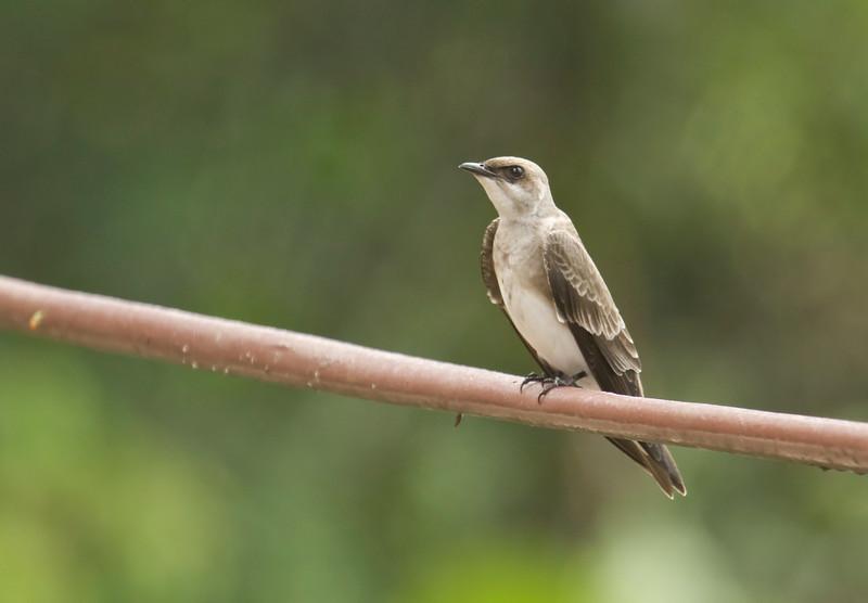 BROWN-CHESTED MARTIN - Progne tapera -<br /> Napo Wildlife Center, 21 July 2014, Orellana, Ecuador