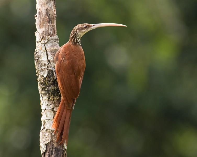 LONG-BILLED WOODCREEPER - Nasica longirostris -<br /> Parque Perla, Lago Agrio, 12 Dec 2014, Sucumbíos, Ecuador