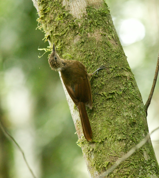 LONG-TAILED WOODCREEPER -Deconychura longicauda -<br /> Yasuni, 19 July 2014, Orellana, Ecuador